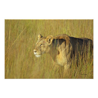 STALKING LIONESS 2 in tall grass Art Photo
