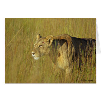 STALKING LIONESS greeting card