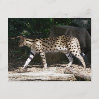 Stalking Serval postcard