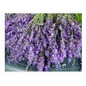 Stalks of Lavender Postcard (<em>$1.00</em>)