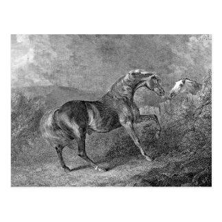 Stallion Horse Vintage Illustration Postcard