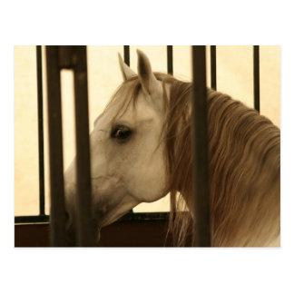 Stallion Watching Postcard