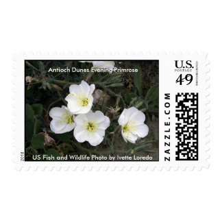 Stamp / Antioch Dunes Evening Primrose