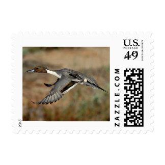 Stamp Card - Northern pintail drake 4