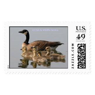 Stamp / Lesser Canada Goose Brood