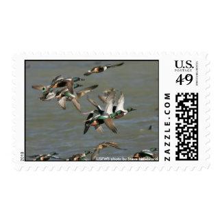 Stamp / Northern Shoveler Ducks Flying