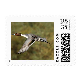 Stamp Postcard Northern pintail drake 3