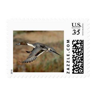 Stamp Postcard Northern pintail drake 4