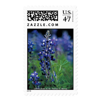 Stamp / Texas Bluebonnet