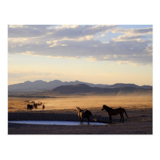 Stampede Postcard