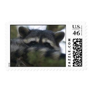 Stamps: Raccoon