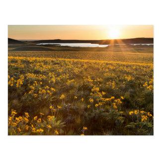 Stand Of Arrowleaf Balsamroot Wildflowers Postcard