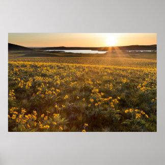 Stand Of Arrowleaf Balsamroot Wildflowers Poster