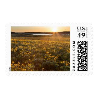 Stand Of Arrowleaf Balsamroot Wildflowers Stamp