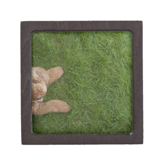 standard poodle 2 gift box
