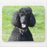 Standard Poodle dog black beautiful photo portrait Mouse Pad