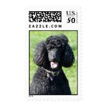 Standard Poodle dog black beautiful photo portrait Postage