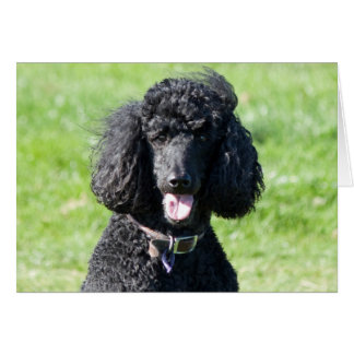 Standard Poodle dog black photo blank note card