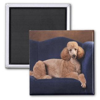 Standard Poodle on Blue Velvet Loveseat 2 Inch Square Magnet