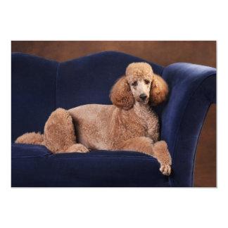 Standard Poodle on Blue Velvet Loveseat 5x7 Paper Invitation Card