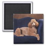 Standard Poodle on Blue Velvet Loveseat Magnet