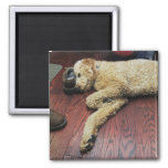Standard Poodle Sleeping on Floor 2 Inch Square Magnet
