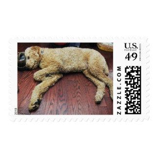 Standard Poodle Sleeping on Floor Postage