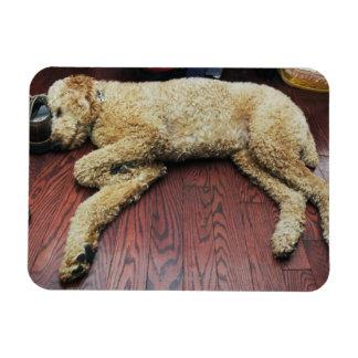 Standard Poodle Sleeping on Floor Rectangular Magnets