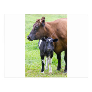 Standing brown mother cow with black white calf postcard