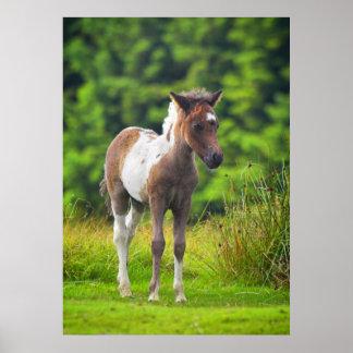 Standing Dartmoor Pony Foal bedroom poster print