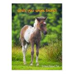 Standing Dartmoor Pony Foal postcard