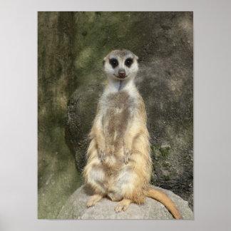 Standing meerkat, Stehendes Erdmaennchen Print