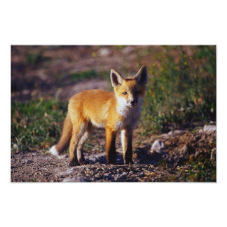 Standing Red Fox Poster