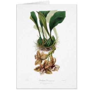 Stanhopea devoniensis card