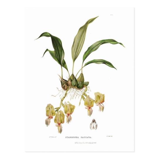 Stanhopea saccata postcard
