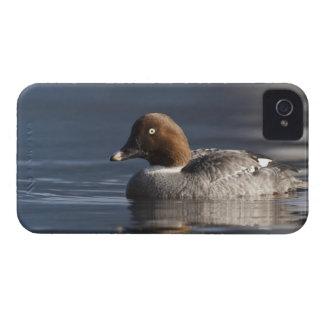 Stanley Park, Common Goldeneye hen iPhone 4 Case