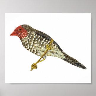 Star Finch (Southern) - Neochmia ruficauda Folio Poster