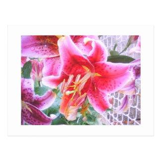 Star Gazer Lilly Postcard