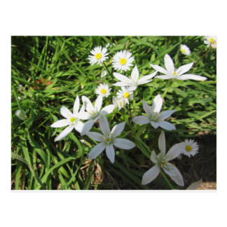 Star of Bethlehem flowers and daisies Postcard