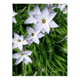 Star Of Bethlehem Flowers Postcard