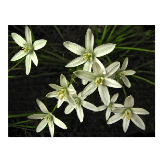 Star of Bethlehem Postcard