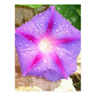Star Shaped Morning Glory With Glistening Water Postcard