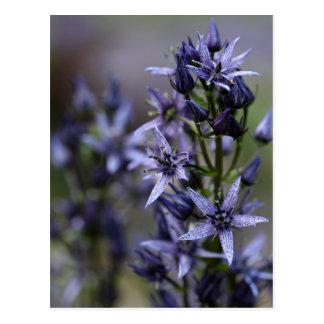 Star swertia (Swertia perennis) Postcard