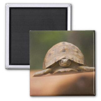 Star tortoise, Perinet Reserve, Madagascar 2 Inch Square Magnet