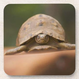Star tortoise, Perinet Reserve, Madagascar Beverage Coaster