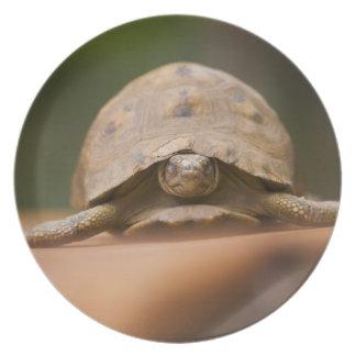 Star tortoise, Perinet Reserve, Madagascar Dinner Plate