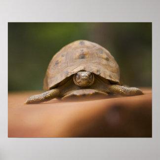 Star tortoise, Perinet Reserve, Madagascar Poster