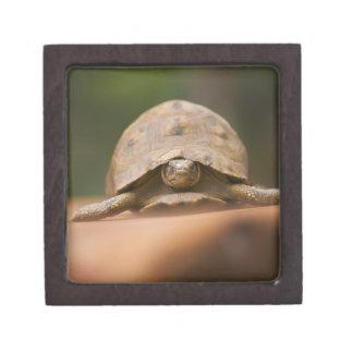 Star tortoise, Perinet Reserve, Madagascar Premium Trinket Boxes