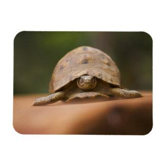 Star tortoise, Perinet Reserve, Madagascar Rectangular Photo Magnet