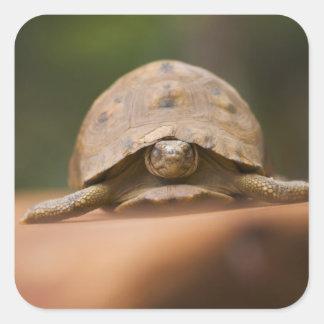 Star tortoise, Perinet Reserve, Madagascar Square Sticker